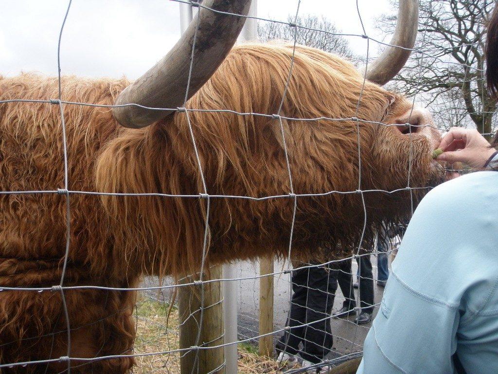 Σκωτία - Εδιμβούργο-η δική τους αγελάδα Hairy coo