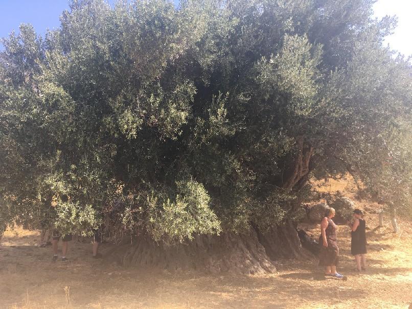 Κρήτη - ελιά 4000 ετών