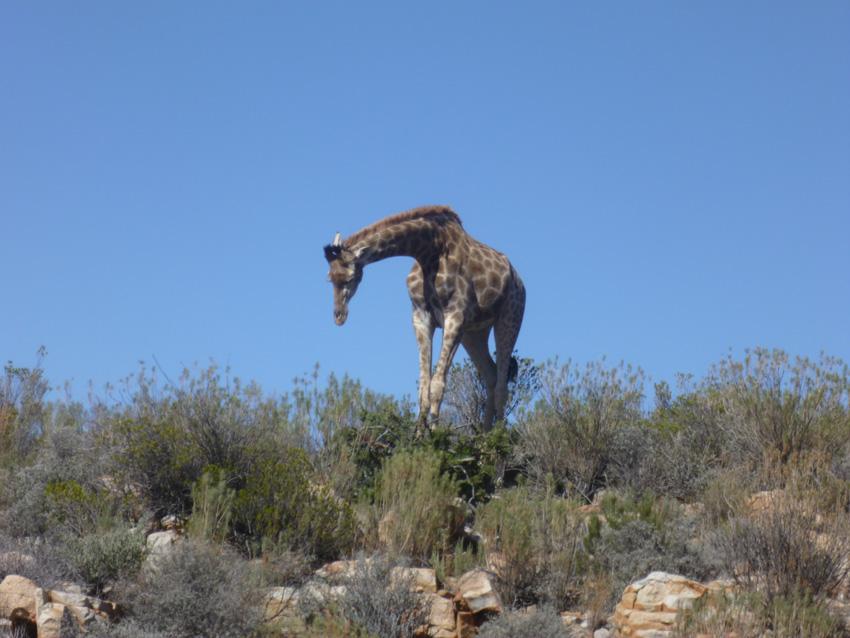 φωτογραφίες από Νότιο Αφρική-Καμηλοπάρδαλη